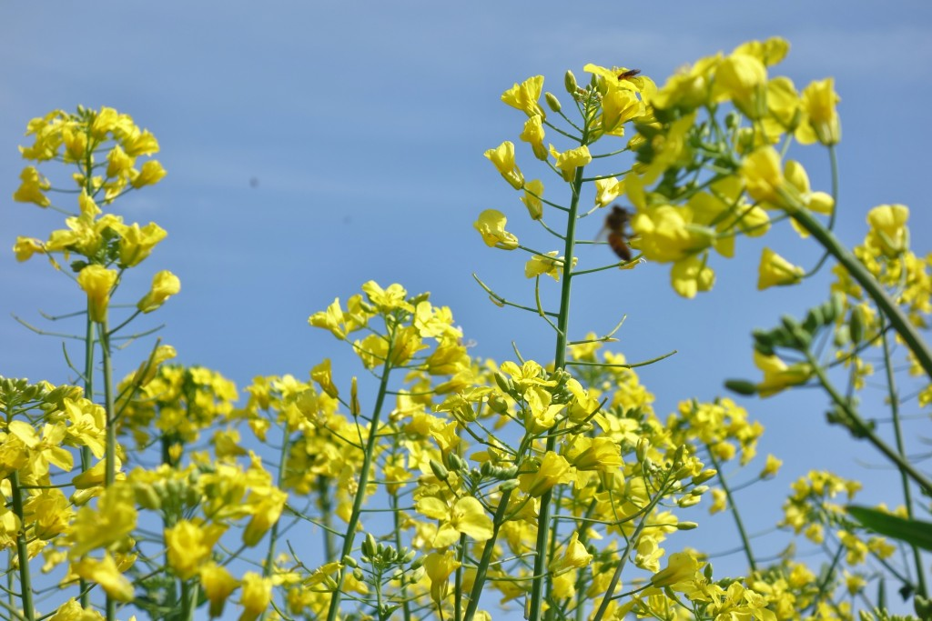 西都市 菜の花