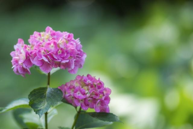 6月の紫陽花