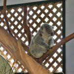 ANAダイヤ修行記1-5:コアラに触って写真も撮れちゃう!最高に楽しいFeatherdale Wildlife Park