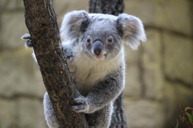 オーストラリア・フェザーデール動物園のコアラ