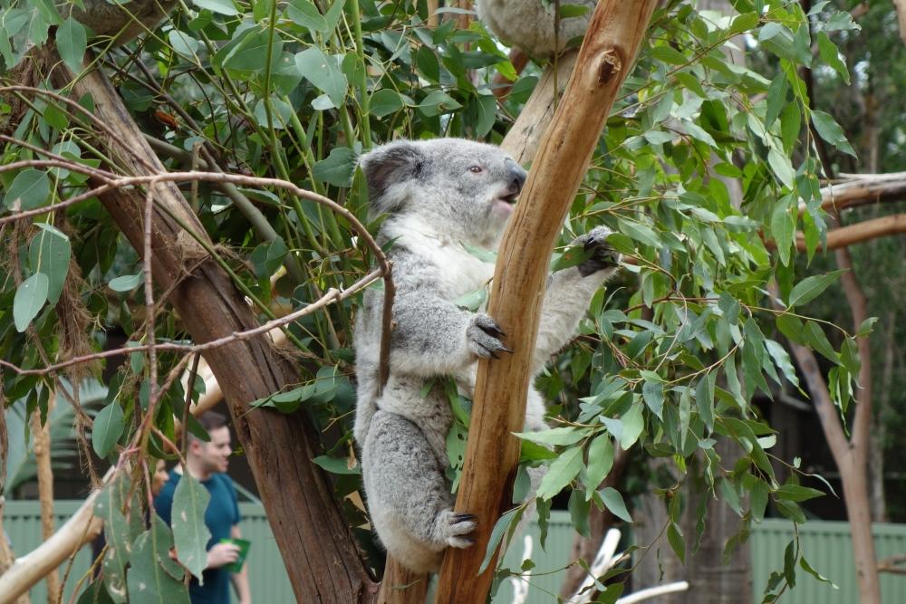 フェザーデール動物園 コアラエンクロージャー