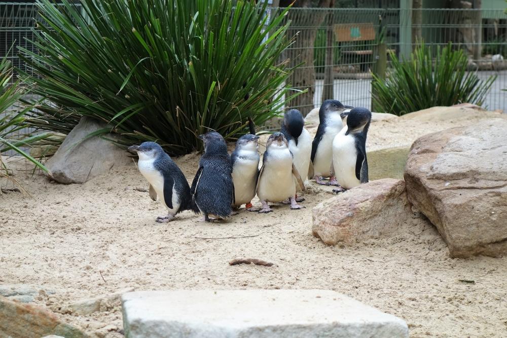 フェザーデール ペンギン